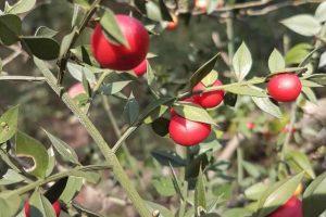 Le bacche rosse del pungitopo
